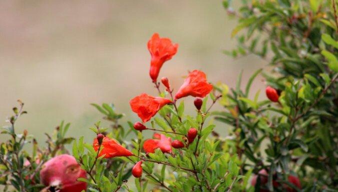 Eksotiskie augļi, ko var izaudzēt no sēklām