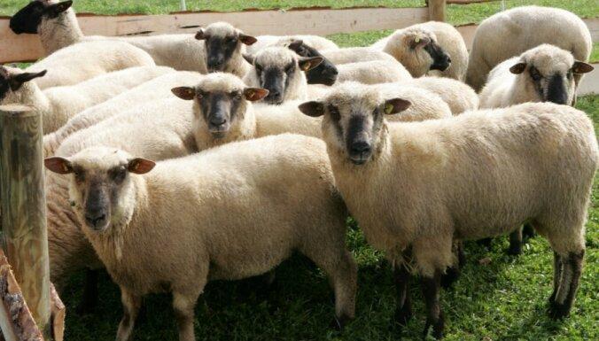 Abdulmuslimova 'AB Holding' pievēršas arī aitu audzēšanai