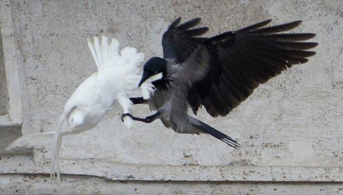 Foto: Pāvesta miera baložiem uzbrūk kaija un vārna