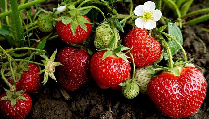 Сельскому хозяйству не хватает работников, ягоды гниют на полях