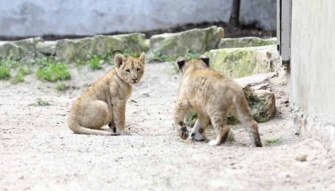 ФОТО. Родившихся в Рижском зоопарке львят назвали Варисом и Тейкой