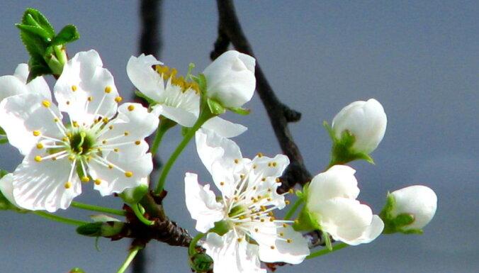Nerakstītie likumi augļu koku un krūmu stādīšanā