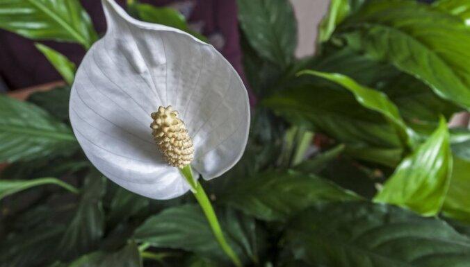 Spatifilai kalst lapas – kas kaiš augam