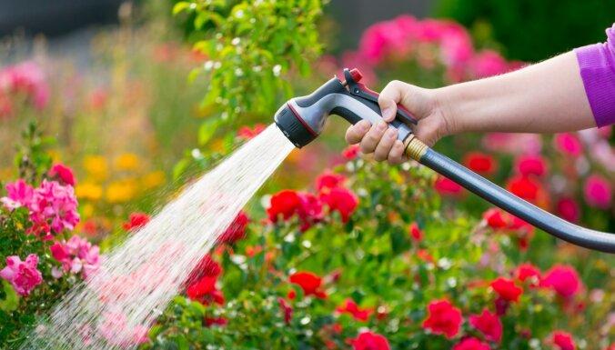 Rožu laistīšanas vadlīnijas, lai tās bagātīgi ziedētu