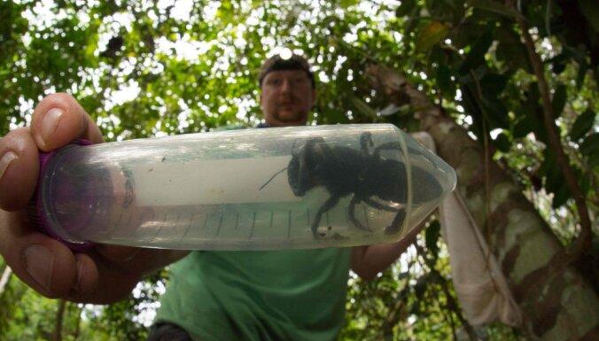 Найдена крупнейшая в мире пчела размером с большой палец человека