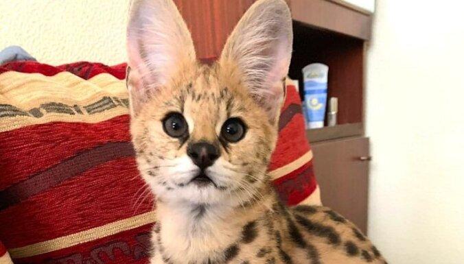 Notver ļaundarus, kuri par 8000 eiro tirgo savvaļas kaķi servalu
