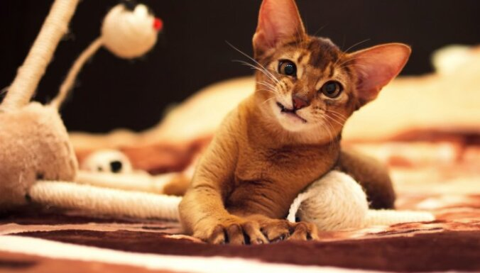 Deviņas kaķu šķirnes, kas uzvedas kā suņi