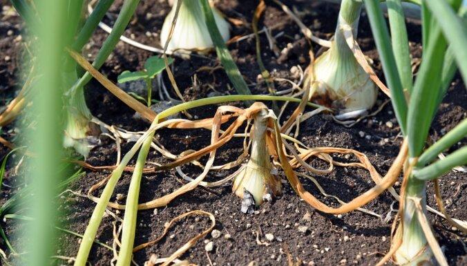 Kabači panīkuši, sīpoli un ķiploki – sīki. Eksperts par to, kā karstums ietekmēs ražu