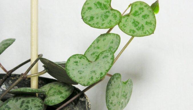 Mazprasīgais augs ar sirdsveida lapiņām – ceropēgija