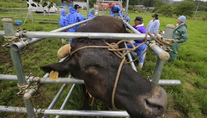 Переживших аварию на АЭС коров сделали подопытными животными