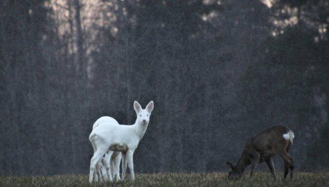 ФОТО, ВИДЕО. В Литве женщина сняла на видео белых косуль