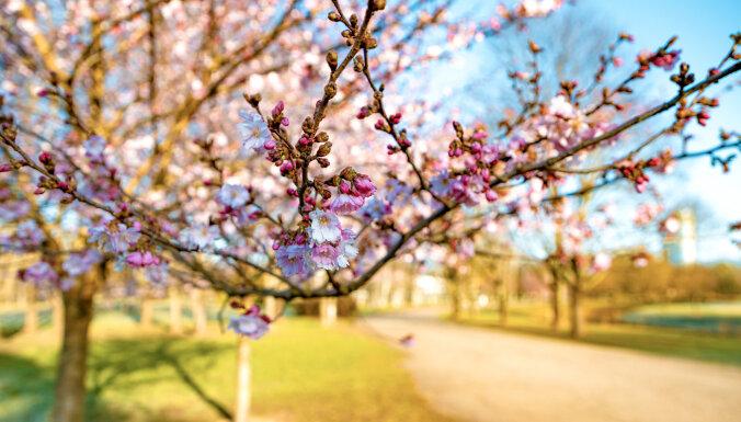 Foto: Uzvaras parkā bagātīgi zied sakuras