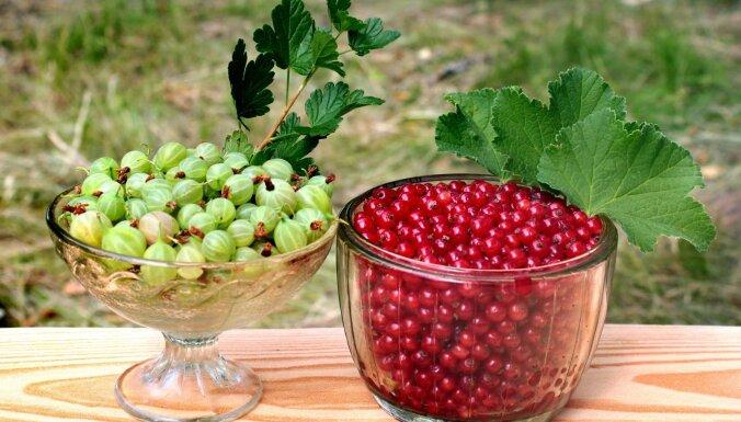 Kāpēc ēst un kā vislabāk pagatavot piemājas dārza karalienes ērkšķogas un jāņogas