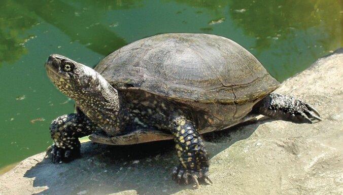 Животное 2013 года в Латвии — европейская болотная черепаха