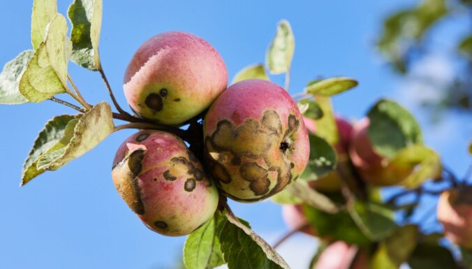 Brūni un raupji plankumi uz āboliem – kā cīnīties ar ābeļu kraupi