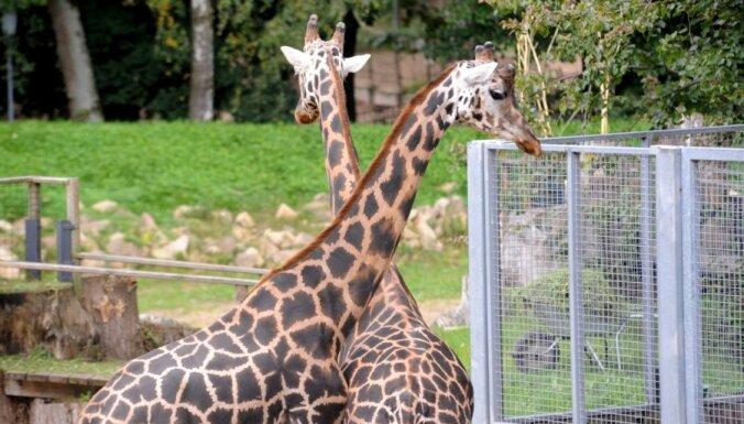 Умер один из четырех жирафов Рижского зоопарка