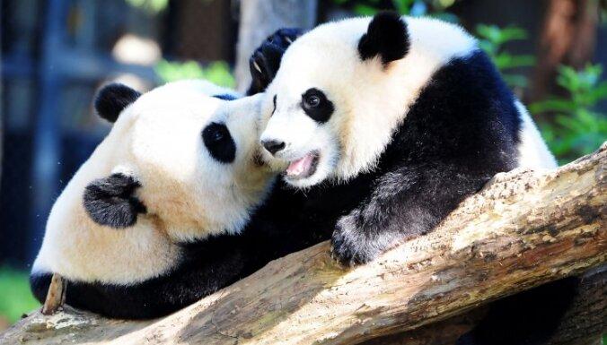 ВИДЕО. Карантин в зоопарке помог пандам спариться впервые за 10 лет