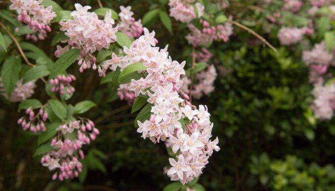 Aromātiskais košumkrūms ar krāšņiem ziediem – deicija