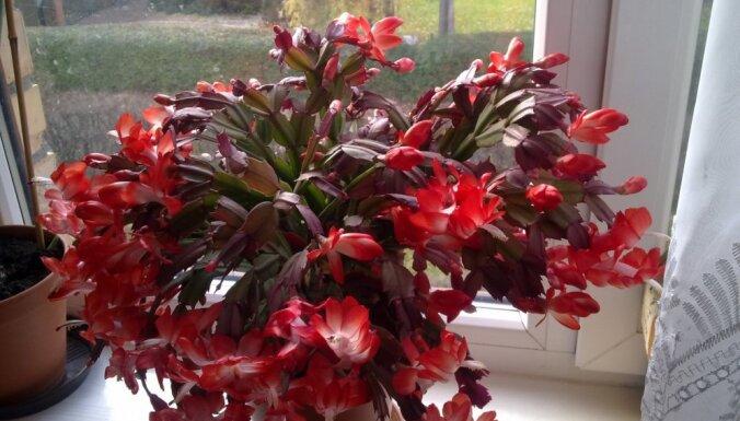 Lai krāšņi un bagātīgi ziedētu: Ziemassvētku kaktusa audzēšanas viltības