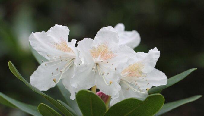 Rododendri zied rudenī – vai satraukumam ir pamats?