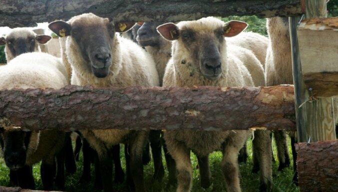 Ziemeļvidzemē vilki nokoduši 19 aitas un divus teļus