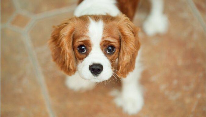 Septiņas mierīgas suņu šķirnes – mājās sēdētāji, kam nevajag daudz enerģisku aktivitāšu