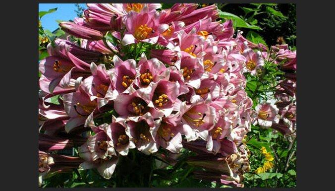 50 un vairāk ziedi vienai lilijai - auga slimība vai normāla parādība?