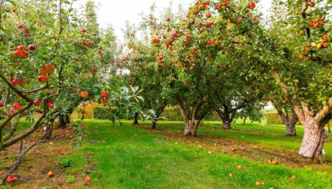 Ābeļu apdobes un mulčēšana: kas par to jāzina