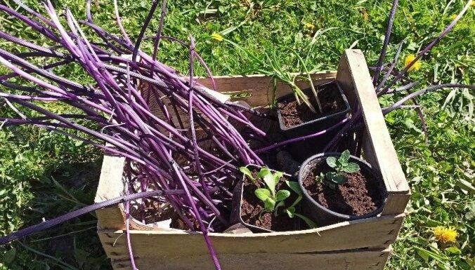 Pieredzes stāsts: violeto kartupeļu audzēšana