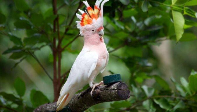 Рига: из торгового центра пытались украсть дорогого попугая какаду
