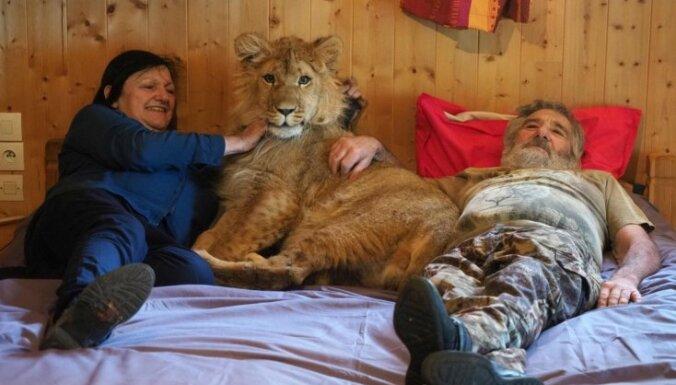 Foto: Pāris Francijā dzīvo kopā ar nepilnu gadu vecu lauvēnu Simbu