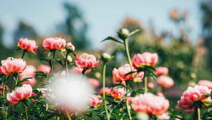ФОТО. В Калснавском дендрарии расцветают великолепные пионы