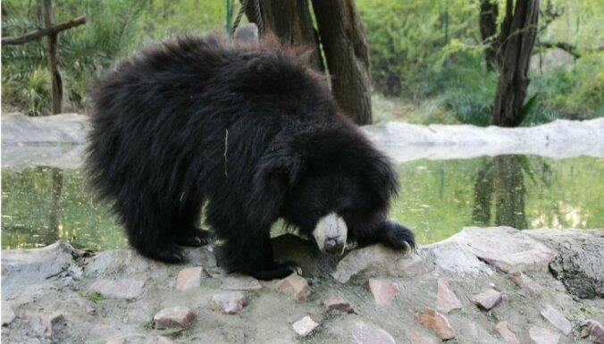 Таксист поплатился жизнью за попытку сделать фото с медведем-губачом