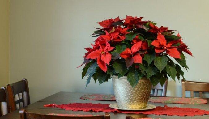 Kas jāzina par Ziemassvētku zvaigznes laistīšanu?