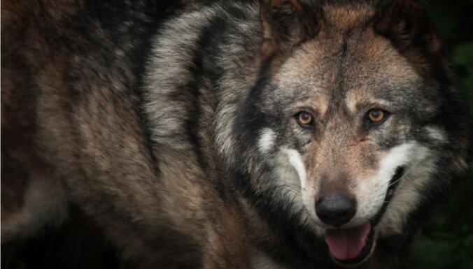 ВИДЕО: На дороге под Талси водителя встретила стая волков