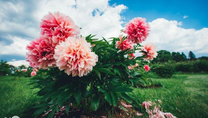Foto: Kalsnavas arborētumā zied iespaidīgā peoniju kolekcija