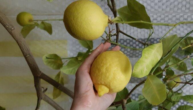Foto: Zantes kultūras namā bagātīgi ražo 17 gadus vecs citronkoks