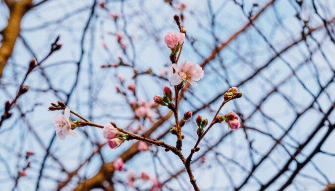 Foto: Uzvaras parkā uzziedējušas sakuras