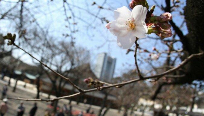Japānā oficiāli sākusies ķiršu ziedēšanas sezona