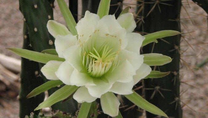 Zied tikai vienu nakti – Nacionālajā botāniskajā dārzā uzplaukuši eriocereji