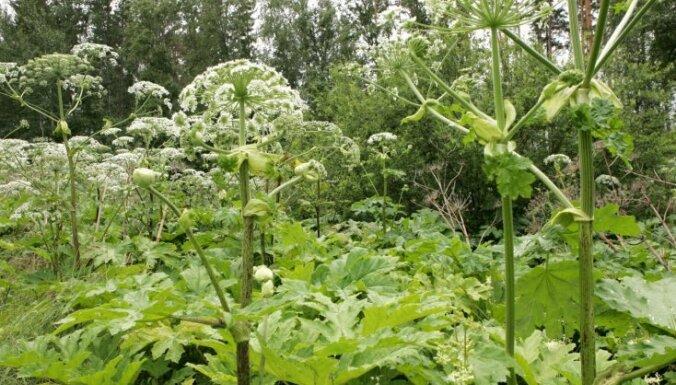 Rīgas dome apstiprina latvāņu apkarošanas plānu nākamajiem pieciem gadiem