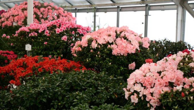 Foto: LU Botāniskajā dārzā krāšņi zied acālijas
