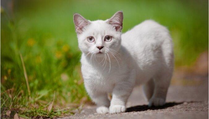 Kaķu šķirne: Mančkins – ņiprais Napoleona līdzinieks, kurā grūti neiemīlēties