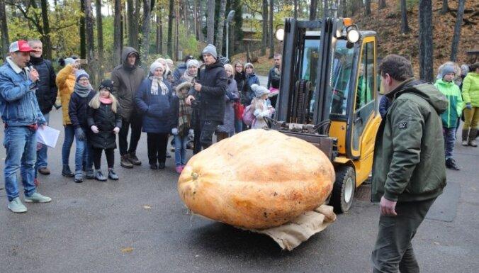 ФОТО: Установлен новый рекорд – самая тяжелая тыква Латвии весит 574 кг