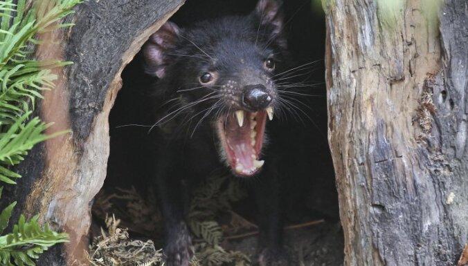 Iepazīstam dzīvniekus: Tasmānijas velns – ar amizantu ārieni, bet nešpetnu raksturu