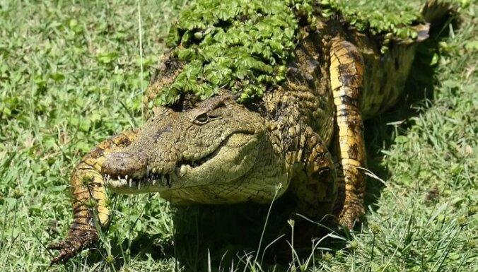 Krokodili Āfrikā aizkavē vēlēšanas