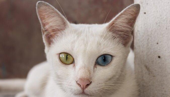 Deviņas savdabīga izskata kaķu šķirnes