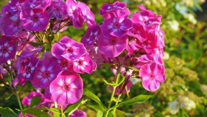 Ēnainās vietās un ne tikai: eksperte iesaka krāšņākos un skaistākos augus dārzam