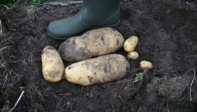 Ķekavas dārzā izauguši gigantiski kartupeļi