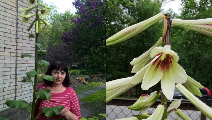 Kardiokrīnija – trīsmetrīga lilija, kas zied reizi mūžā